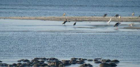 Coastal Birds in the Water
